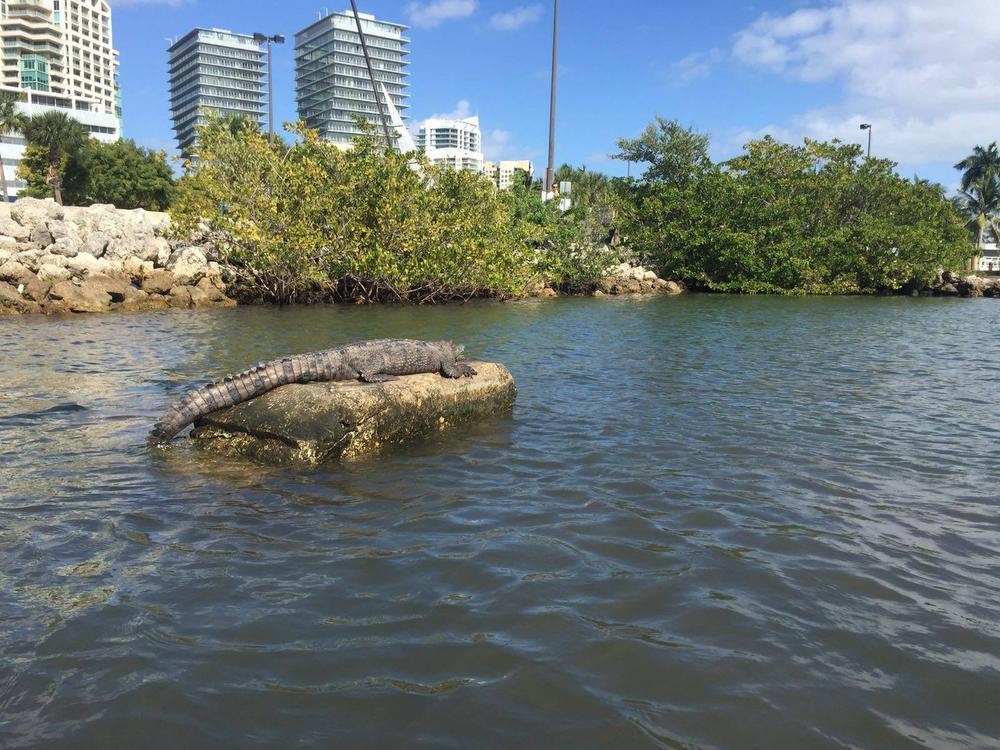 Oostendse zeilers maken kennis met een alligator in Miami
