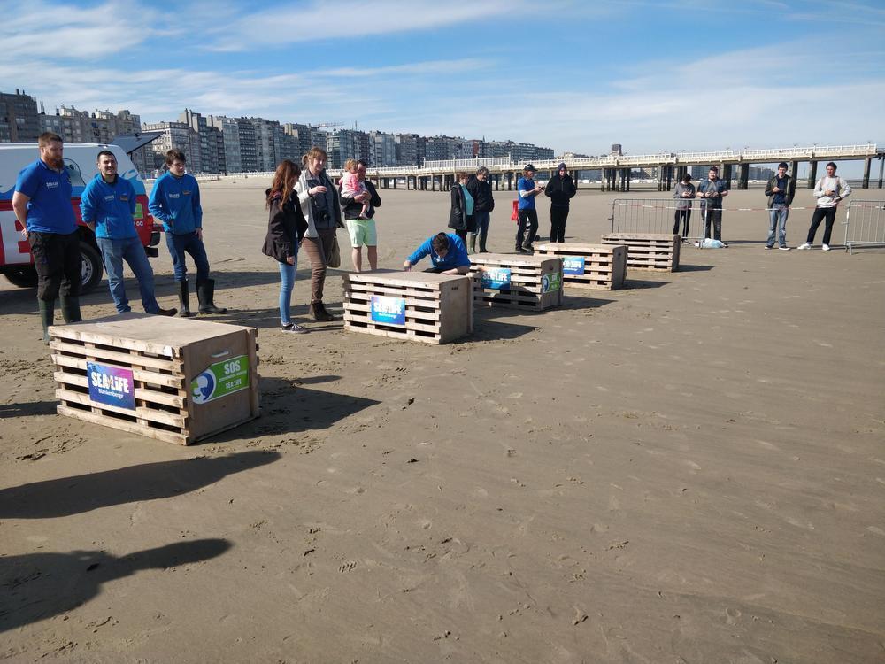 IN BEELD - Sea Life Blankenberge geeft vijf zeehondjes de vrijheid terug