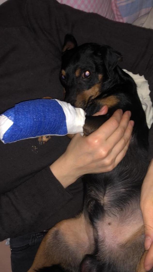 Het hondje moet nu een dure operatie ondergaan.