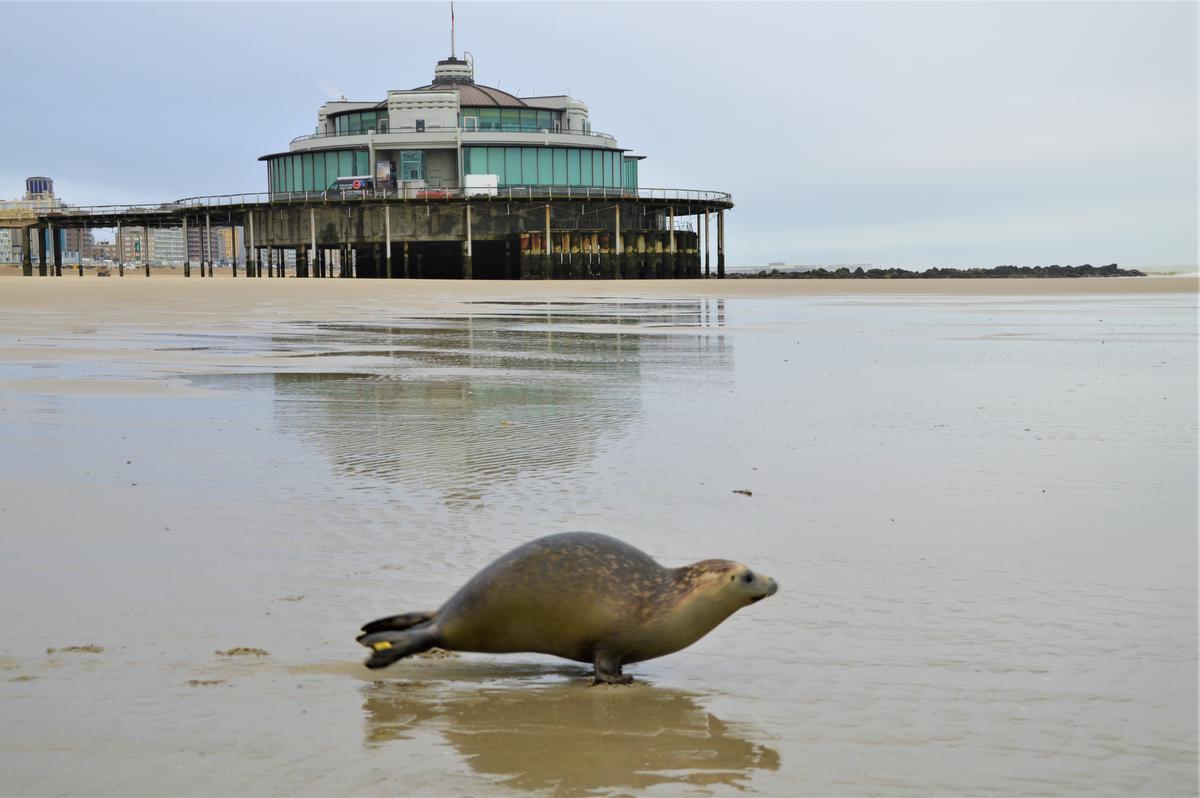 De vrijheid lonkt... en weg is de zeehond.