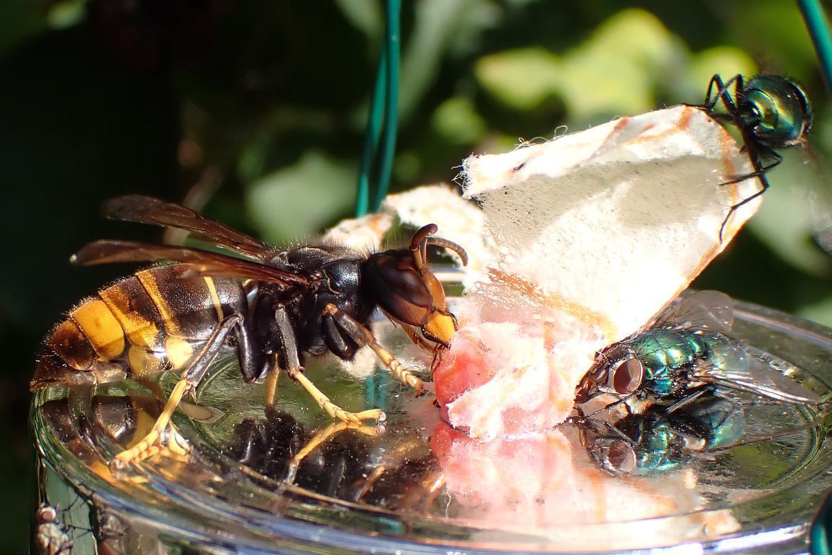 De Aziatische hoornaar opnieuw gespot in Wevelgem