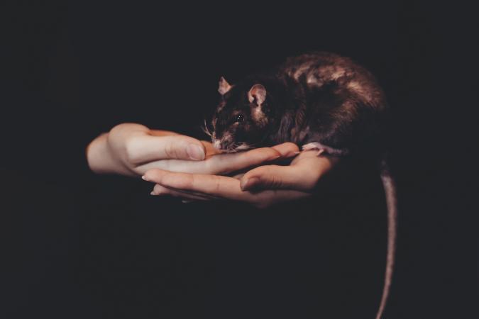 19. Ratten lachen wanneer je hen kietelt.