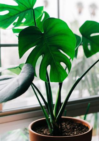 Monstera (gatenplant)