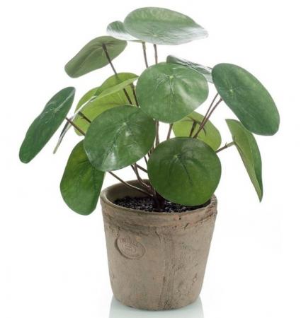 Pannenkoekenplant