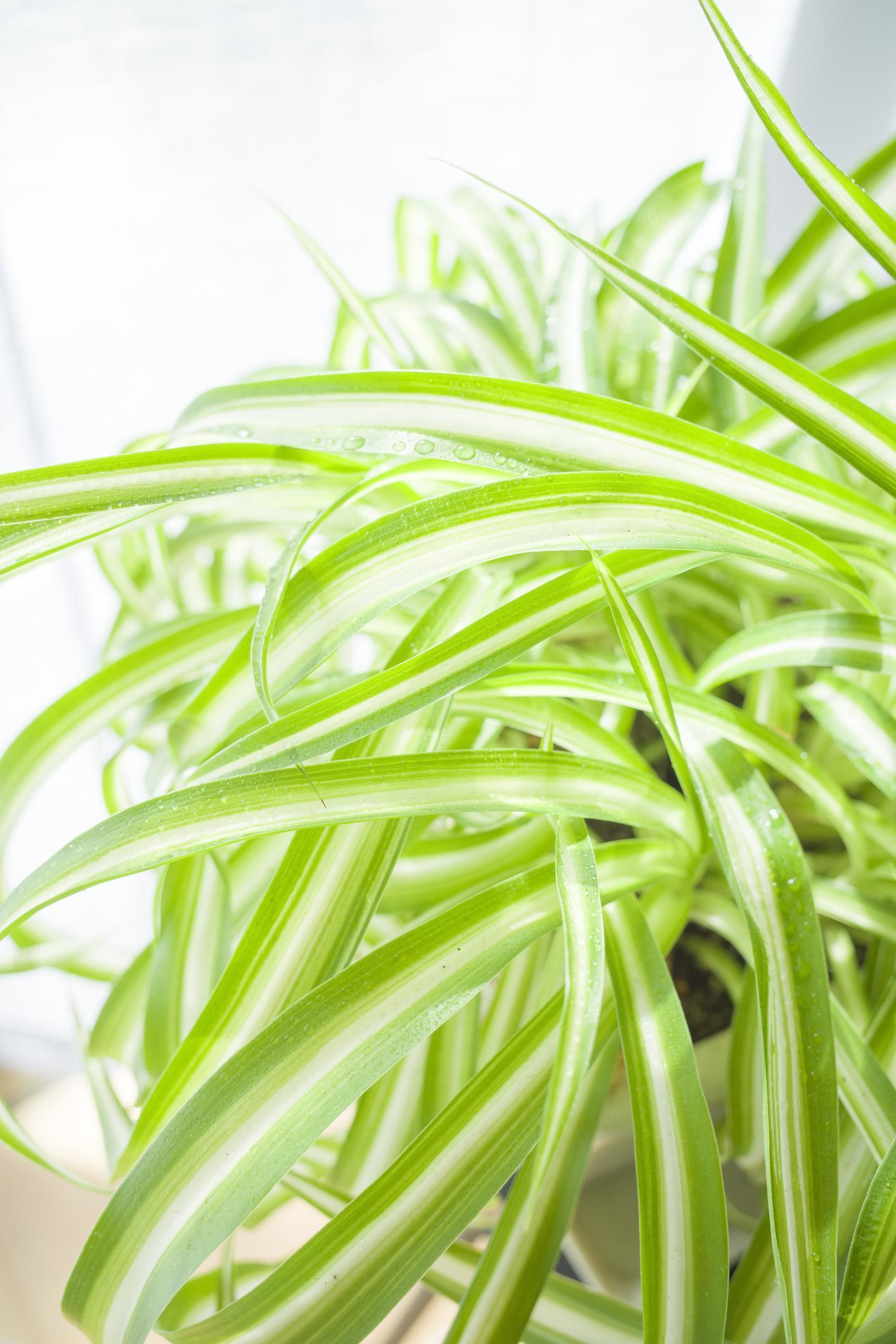 Graslelie (Chlorophytum)