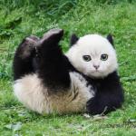 Le chat-panda