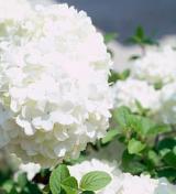 Hortensia annabelle