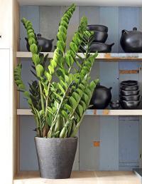 Zamioculcas plante d'intérieur