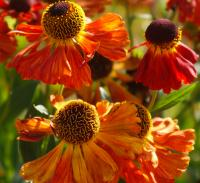 fleur rudbeckia