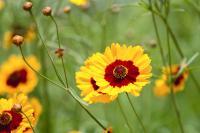 fleur vivace coreopsis