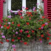 jardinière géranium