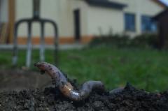 ver de terre-jardin