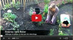 vidéo planter un rosier