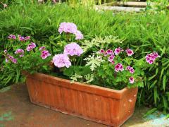 Jardinière geraniums