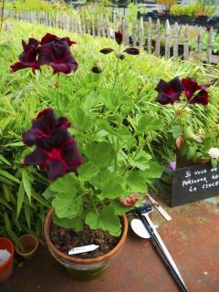 geranium pelargonium La Prêle