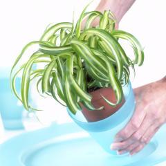 Plante d'intérieur - chlorophytum