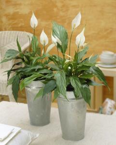 Plante d'intérieur - spatiphyllum