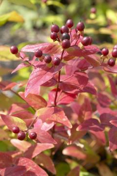 arbuste d'automne
