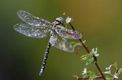 étang libellule