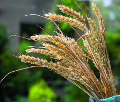 Photo 13b cereales 02052019-_D4_0270 copie