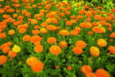 Photo 103a soucis 25062006-Calendula_officinalis_porcupine_2 cop