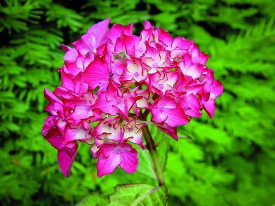 Photo 9b hortensia hydrangea macrophila30062006-Hydrangea_macrop