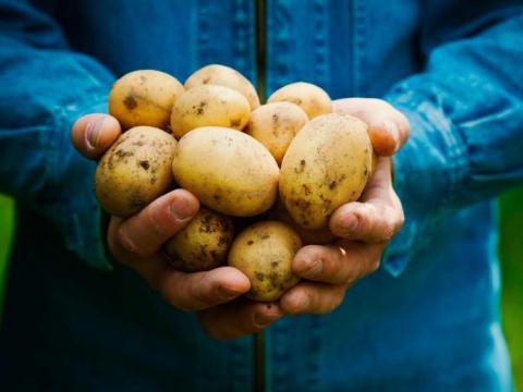Welke aardappelen kies je voor friet?