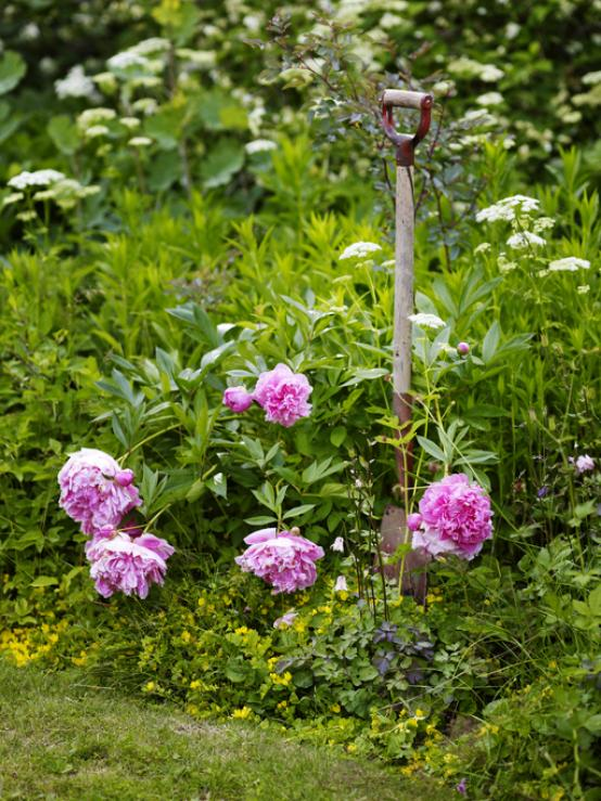 pioenrozen rozen tuin