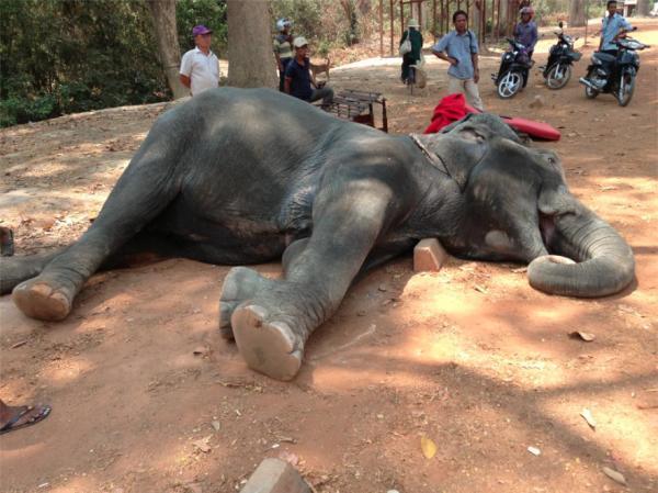 Sambo, éléphant décédé