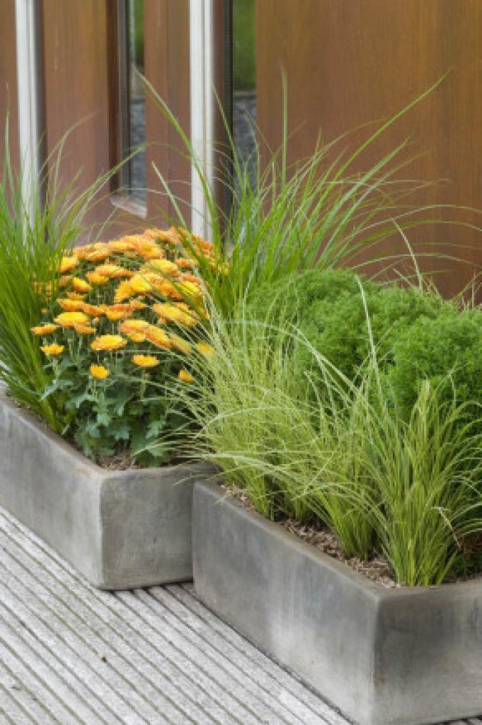 Carex et chrysanthème