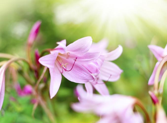 Amaryllis belladonnes