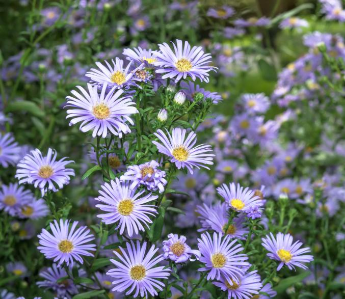 Aster d'automne (aster ericoides)