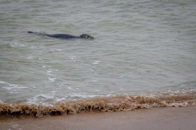 In Oostende hield Storm Bella deze zeehond niet tegen om even te komen piepen.©KURT DESPLENTER BELGA