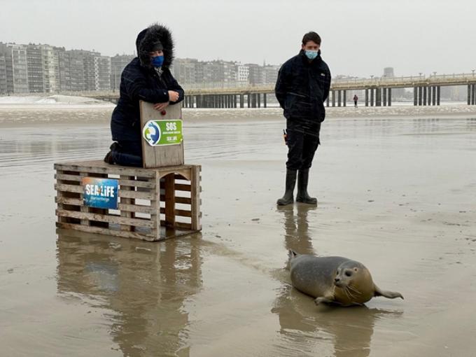 Nadat eerder de geredde zeehond Lio weer werd vrijgelaten, was het op 14 januari de beurt aan Alessandra.© Sea Life Blankenberge