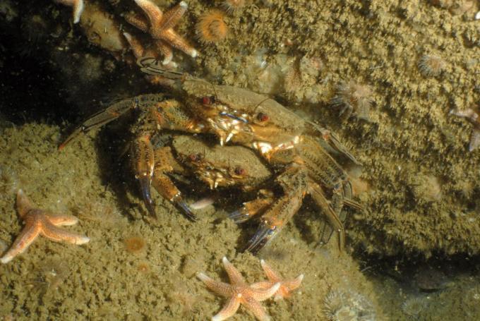 Fluwelen zwemkrabben vinden beschutting tussen stenen van de erosiebeschermingslaag rondom een windturbine.© KBIN