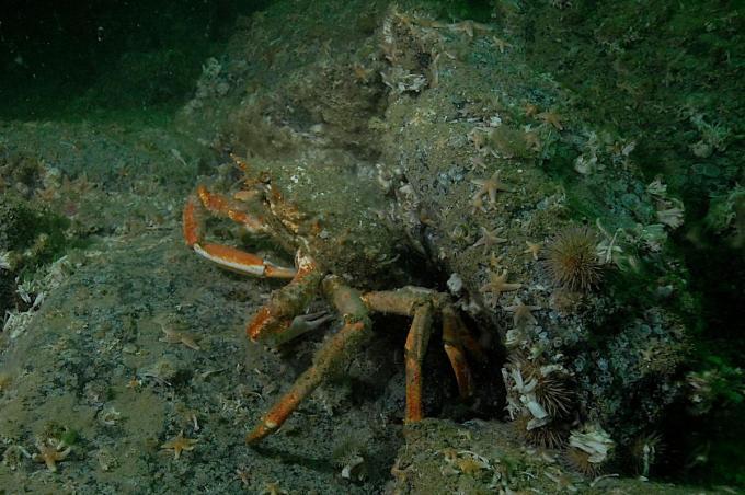 Een grote spinkrab houdt zich schuil tussen de stenen van de erosiebeschermingslaag rondom een windturbine.© KBIN