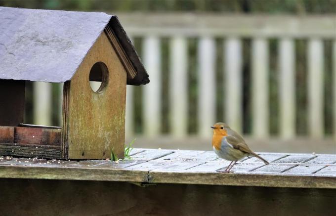 Een eenzaam roodborstje kwam even piepen aan het vogelhuisje van Trees.© AN