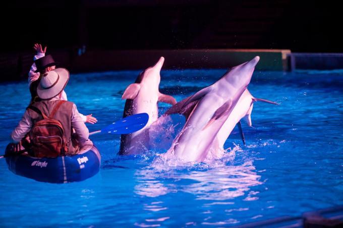 In het dolfinarium van het Boudewijn Seapark verblijven zes volwassen dolfijnen en twee kalfjes.© Davy Coghe