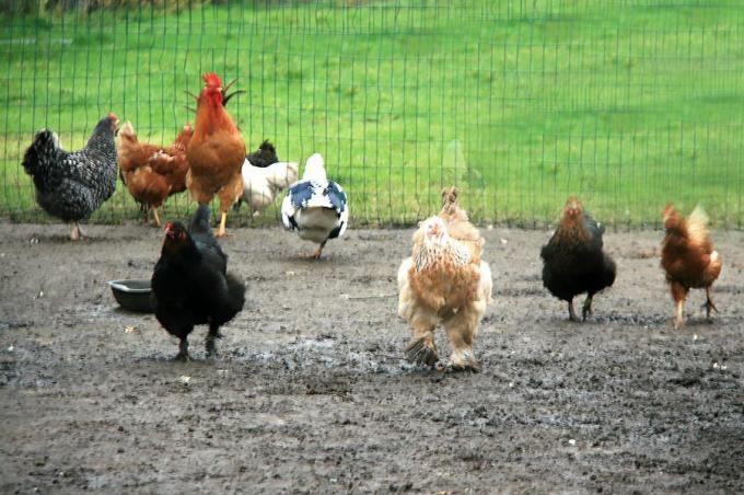 Er mogen geen gratis kippen meer worden gegeven of met korting worden verhandeld in Ingelmunster.©FODI FODI