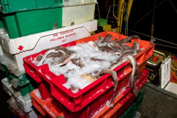 Zeventig procent van de gevangen vis, of 12.796 ton, werd aan wal gebracht in Belgische havens.© BELGA/KURT DESPLENTER