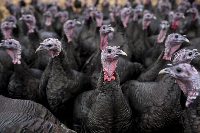 Er werden geen nieuwe besmettingen met het vogelgriepvirus H5N8 vastgesteld.©Nick David Getty Images