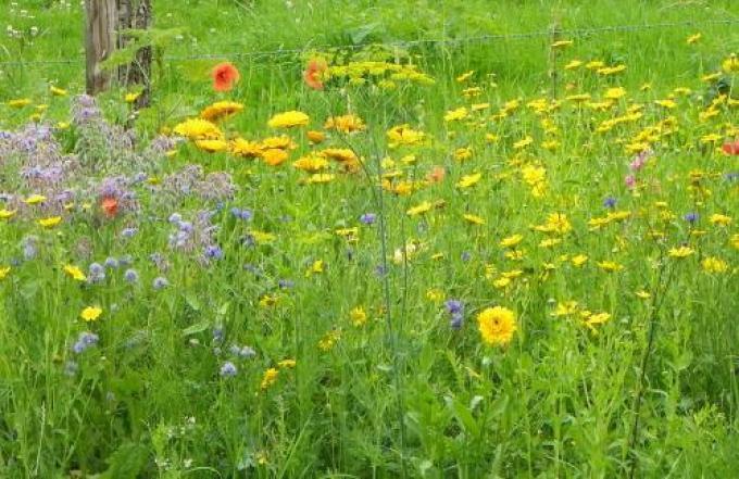 De zaadjes groeien uit tot een prachtig bloemenkleed.© Provincie West-Vlaanderen
