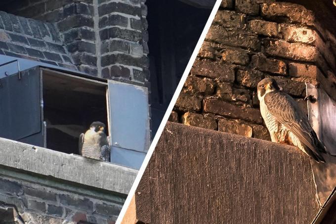 Twee exemplaren vonden hun weg naar het nest.© CL
