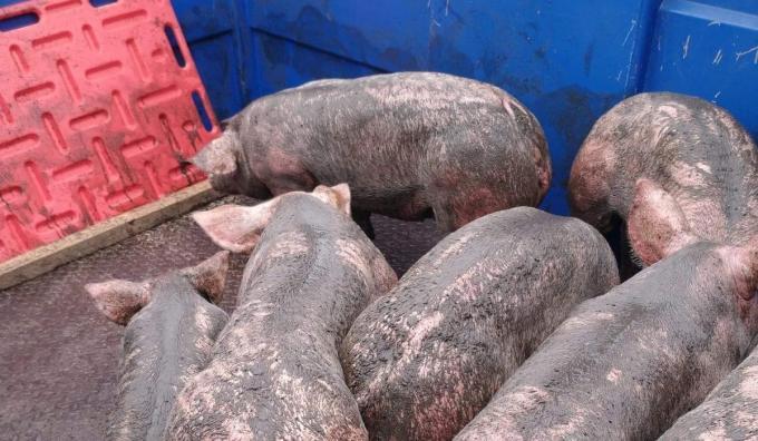 De geredde varkens kregen eerst een wasbeurt voor ze in een andere stal ondergebracht werden.© JH