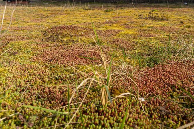 Op een derde van het hele gebied werd de overwoekerende rimpelroos verwijderd.©luc cassiman LC