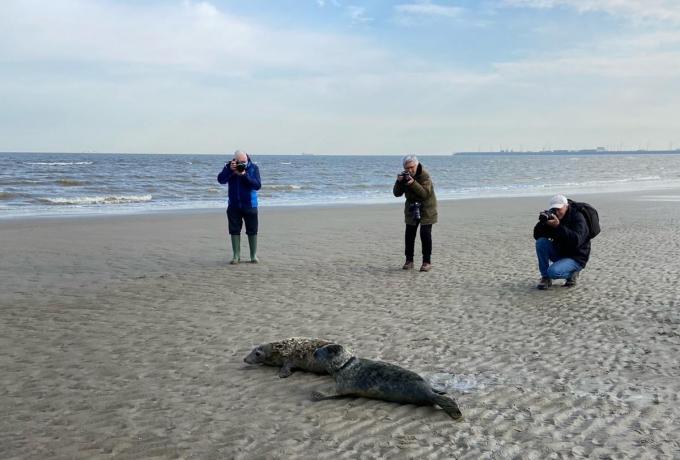 De zeehondjes werden vrijgelaten op het strand in Blankenberge.© WK
