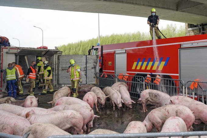 Eenmaal de varkens bevrijd spoot de brandweer water over alle dieren om hen af te koelen en tot rust te brengen.© CLL