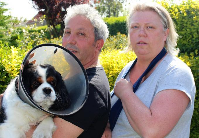 De King Charles Tommy van Enzo Conson en Els Lava werd zwaar in de keel gebeten door een andere hond.© Laurette Ingelbrecht
