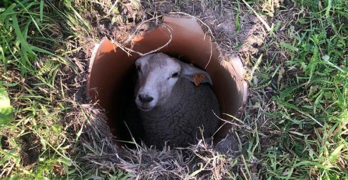 Het schaap kon geen kant meer op.© JVMA