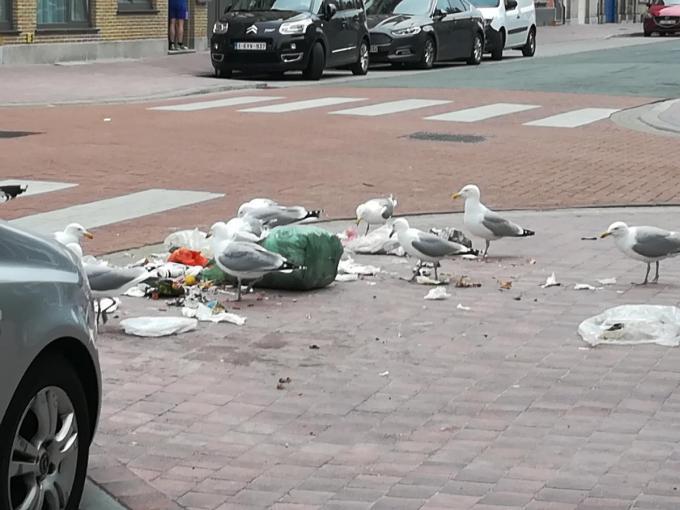 Meeuwen pikken vuilniszakken open.